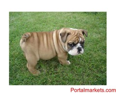 Extra Charming Male And Female English Bulldog Puppies For adoption,