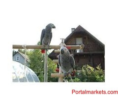 Congo African Grey Parrots for Bird Lovers(vanessadonmezz@gmail.com)