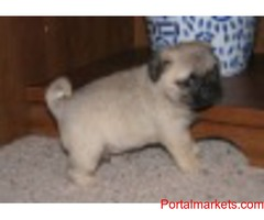 Adorable Pug For Rehoming
