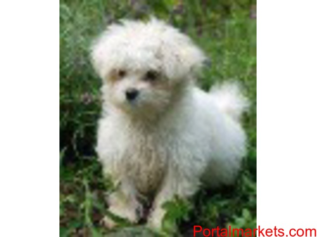 Adorable Maltese  For Rehoming - 1/1