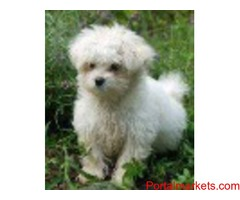 Adorable Maltese  For Rehoming