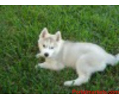 Adorable Siberian Husky For Rehoming