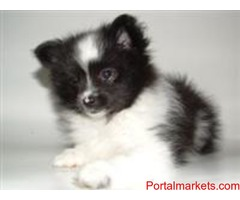 Adorable Pomeranian For Rehoming
