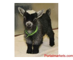 African Pygmy Goats - Kids Are Here