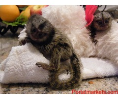 Pure Breed Marmoset Monkey for a new Home…