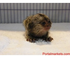 Healthy-Marmoset monkey male and female ready for your lovely and caring Home