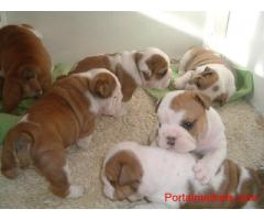 Extra Charming Male And Female English Bulldog Puppies For adoption
