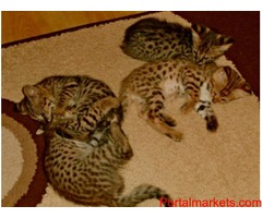 exotic savannah f1, bengal and serval kittens available
