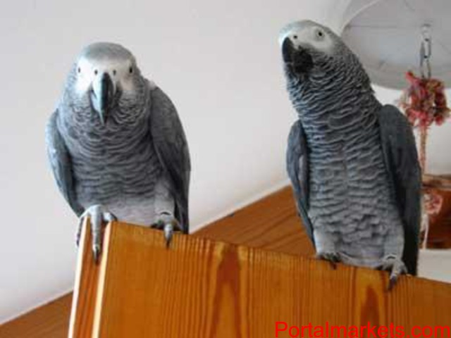 PARROTS AND PARROTS EGGS FOR SALE (267)368-7695 - 2/3