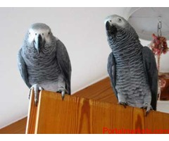 PARROTS AND PARROTS EGGS FOR SALE (267)368-7695 - Image 2/3