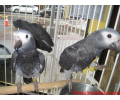 PARROTS AND PARROTS EGGS FOR SALE (267)368-7695 - Image 3/3
