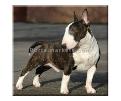 Magnificent miniature bull terrier puppies