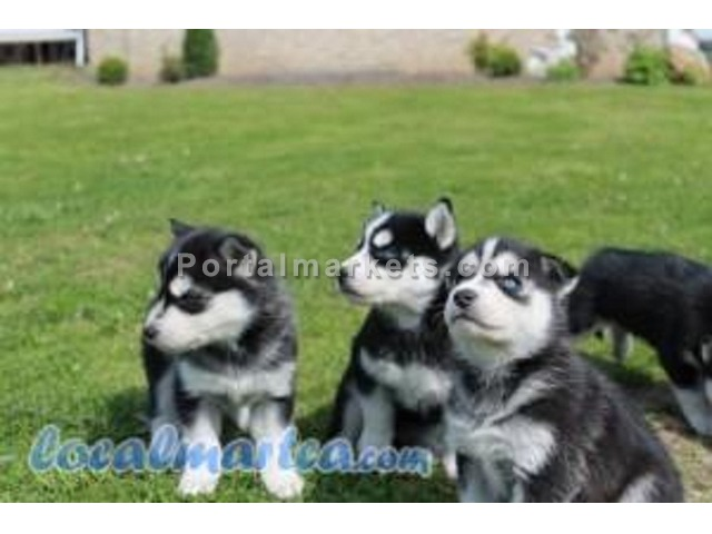 Siberian Husky Puppies Available for Adoption - 1/1