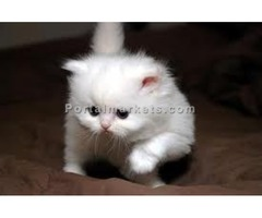 CFA Registered Persian Kittens for adoption