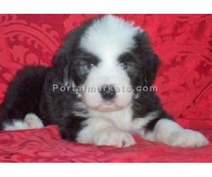 Shih Tzu Puppies For A New Home