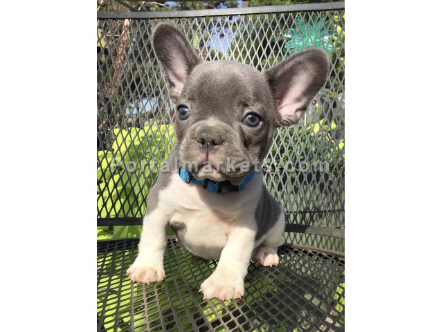 French bull dogs available at(514)600-5428 - 1/1