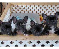 French Bull Dogs puppies available. (514) 600 5428.