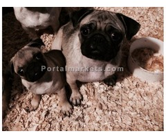 Pug puppies male and female