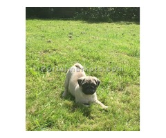 Gorgeous Pug Puppies, Fawn.