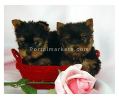 Beautiful CKC Teacup Male and Female Yorkie Puppies for adoption Text me on (760) 882-7364