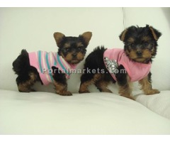Akc Reg Teacup Yorkie Puppies Available