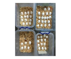 Fresh fertile Parrot Birds Eggs for Hatching with Incubators