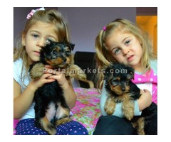 Beautiful CKC Teacup Male and Female Yorkie Puppies for adoption