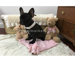 Registered French Bulldog puppies for adoption