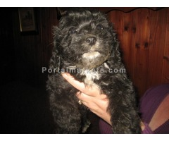 Cavapoos Puppies ready for new homes