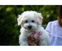 Beautiful Bolognese Puppies For Sale