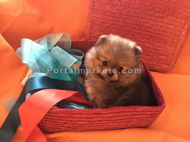 Pomeranian Puppies For Sale - 1/4