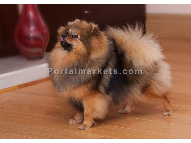 Pomeranian Puppies For Sale - 2/4