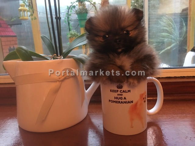 Pomeranian Puppies For Sale - 3/4