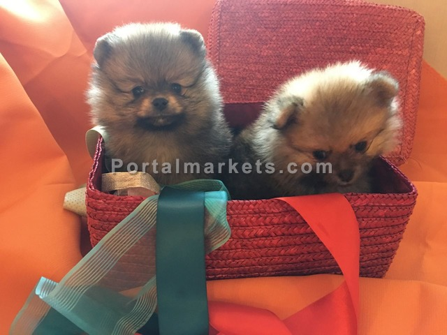 Pomeranian Puppies For Sale - 4/4