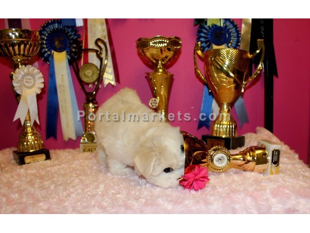Quality Maltese Puppies for sale - 2/3
