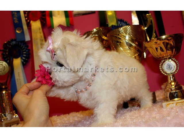 Quality Maltese Puppies for sale - 3/3