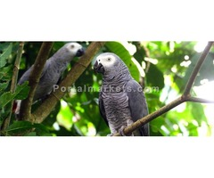 a pair of talking african grey parrots for sale