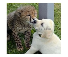 baby cheetah for sale - Image 2/2