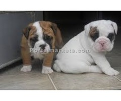 Pure Breed English Bulldog Puppies For Sale