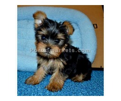 Excellent Yorkie Puppies For Adoption.