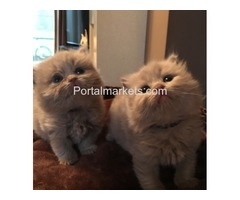 X-MAS- British short hair kittens Male AND FEMALE KITTENS For Sale!!!