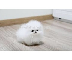 BABY Pomeranian Puppies Call/Text (240) 249-2824