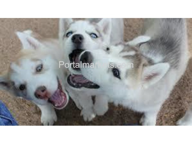 Healthy Cute Siberian Husky Puppies Ready for adoption. - 1/4