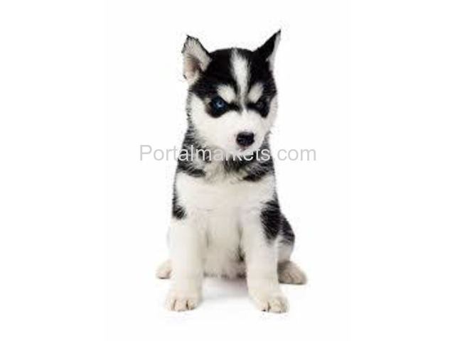 Healthy Cute Siberian Husky Puppies Ready for adoption. - 2/4