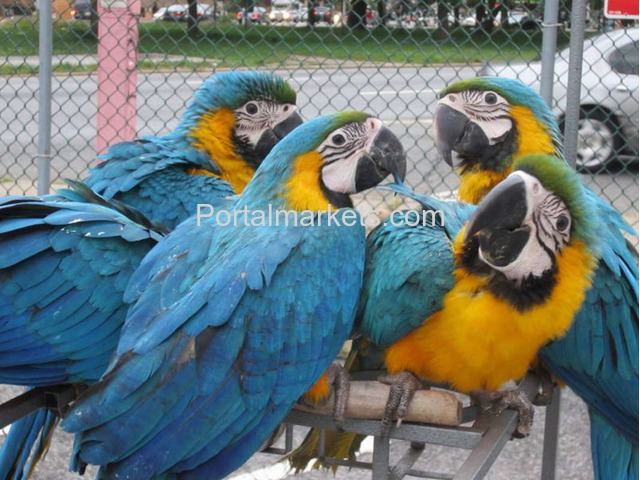 Tame, healthy, well trained parrots, amazons and cockatoos for sale - 2/3