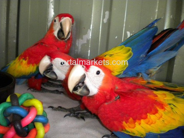 Tame, healthy, well trained parrots, amazons and cockatoos for sale - 3/3