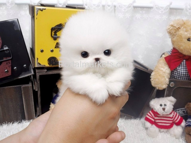Pomeranian puppies for - 2/4