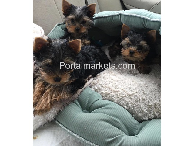 Your Male/Female Yorkie Puppies For Sale - 1/1