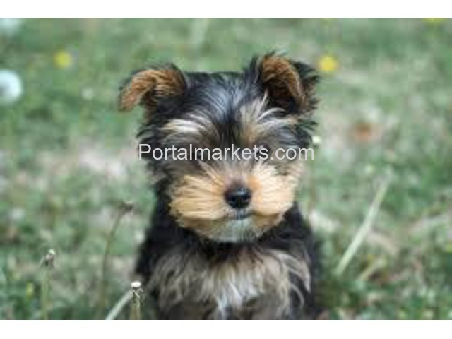 AKC Mini Healthy Yorkie Puppies - 1/2