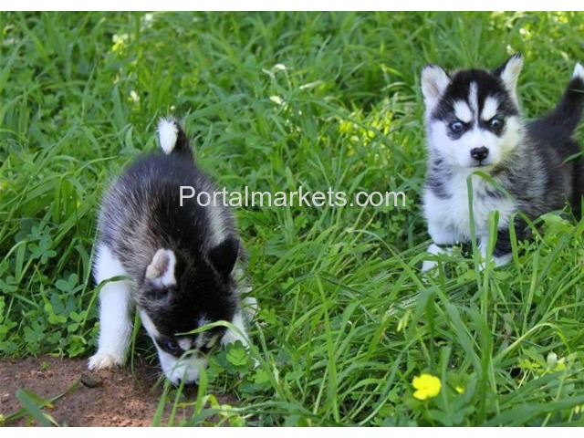 AKc Siberian Husky Puppies Male and Female - 1/1
